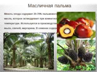 Масличная пальма Мякоть плода содержит 20-70% пальмового масла, которое затве