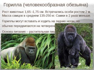 Горилла (человекообразная обезьяна) Рост животных 1,65 -1,75 см. Встречались