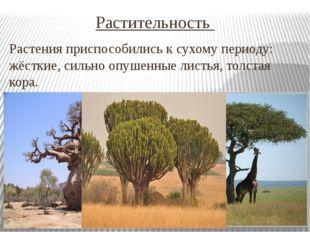 Растительность Растения приспособились к сухому периоду: жёсткие, сильно опуш