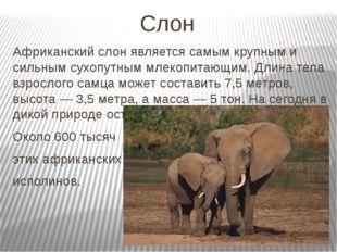 Слон Африканский слон является самым крупным и сильным сухопутным млекопитающ