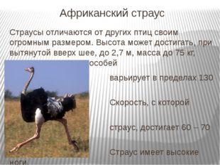 Африканский страус Страусы отличаются от других птиц своим огромным размером.