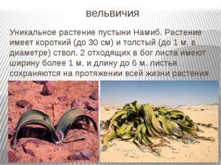 вельвичия Уникальное растение пустыни Намиб. Растение имеет короткий (до 30 с