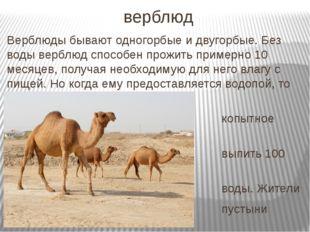 верблюд Верблюды бывают одногорбые и двугорбые. Без воды верблюд способен про