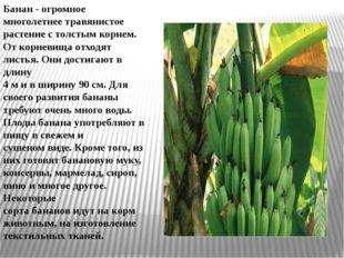 Бананы Банан - огромное многолетнее травянистое растение с толстым корнем. О