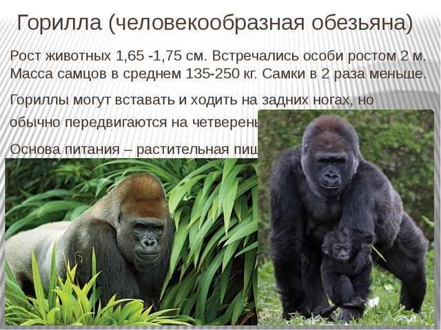 Горилла (человекообразная обезьяна) Рост животных 1,65 -1,75 см. Встречались...