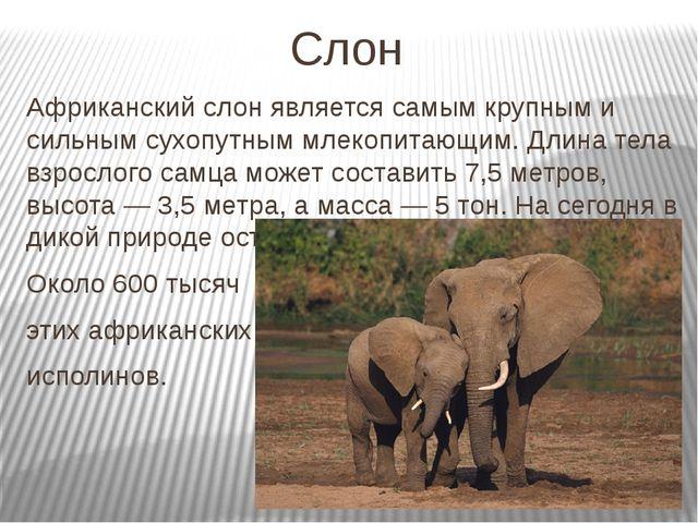 Слон Африканский слон является самым крупным и сильным сухопутным млекопитающ...