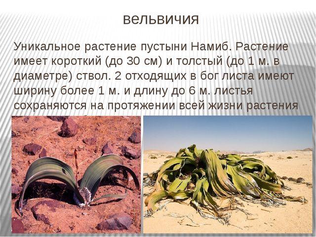 вельвичия Уникальное растение пустыни Намиб. Растение имеет короткий (до 30 с...