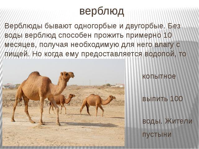 верблюд Верблюды бывают одногорбые и двугорбые. Без воды верблюд способен про...