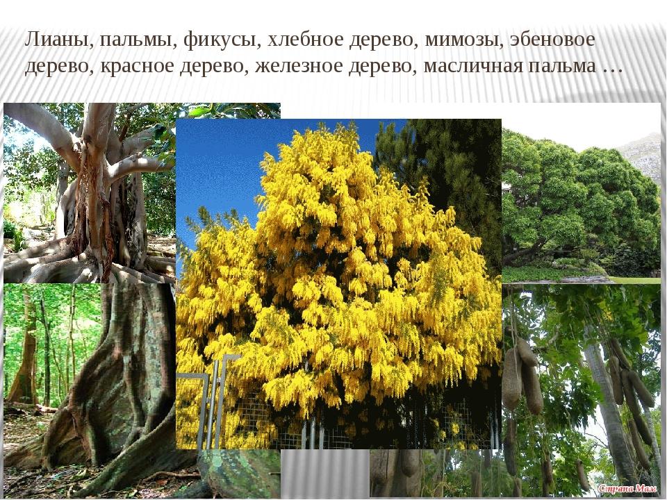 Лианы, пальмы, фикусы, хлебное дерево, мимозы, эбеновое дерево, красное дерев...