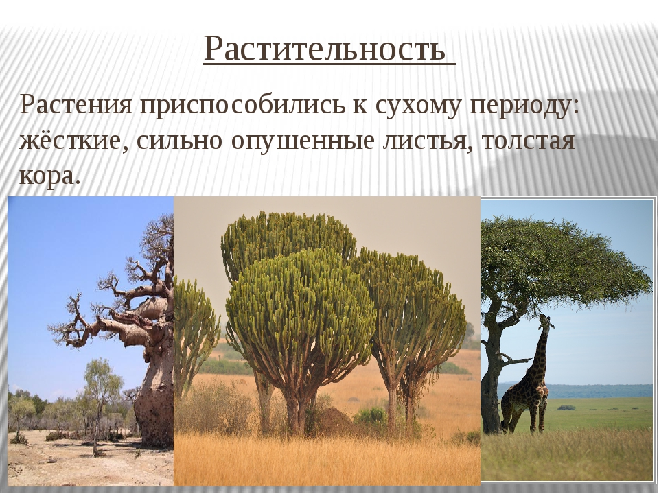Растительность Растения приспособились к сухому периоду: жёсткие, сильно опуш...