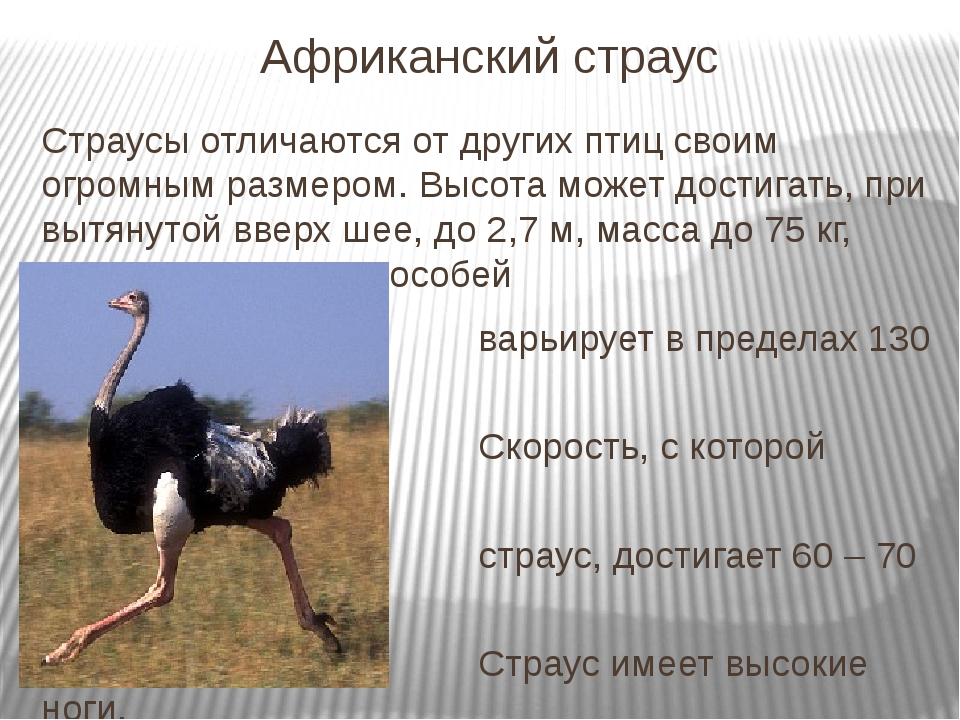 Африканский страус Страусы отличаются от других птиц своим огромным размером....