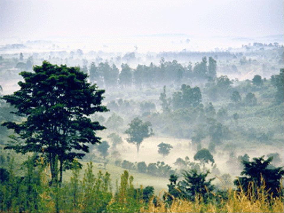 «В этих лесах то тут, то там растут деревья – гиганты. Их стволы так толсты,...