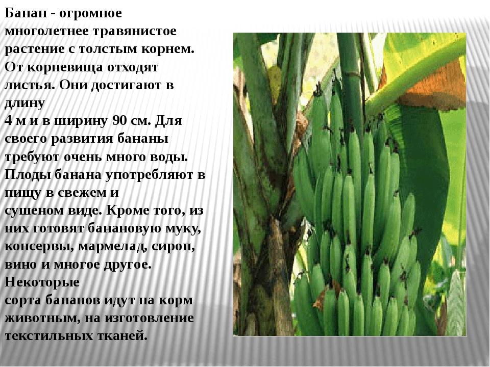Бананы Банан - огромное многолетнее травянистое растение с толстым корнем. О...