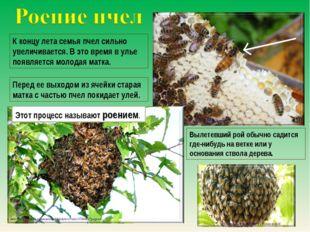 К концу лета семья пчел сильно увеличивается. В это время в улье появляется м