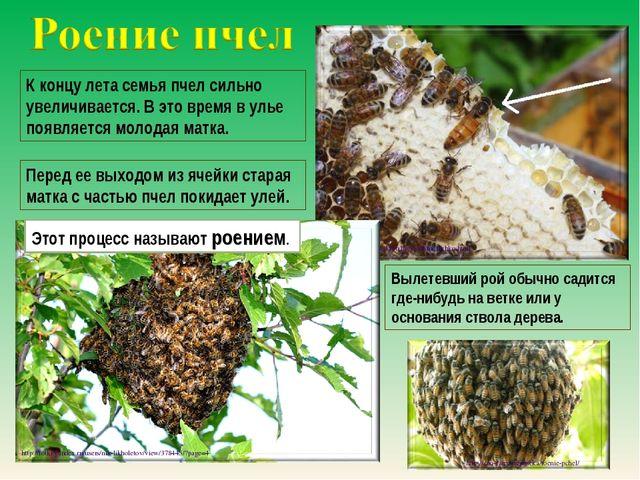 К концу лета семья пчел сильно увеличивается. В это время в улье появляется м...