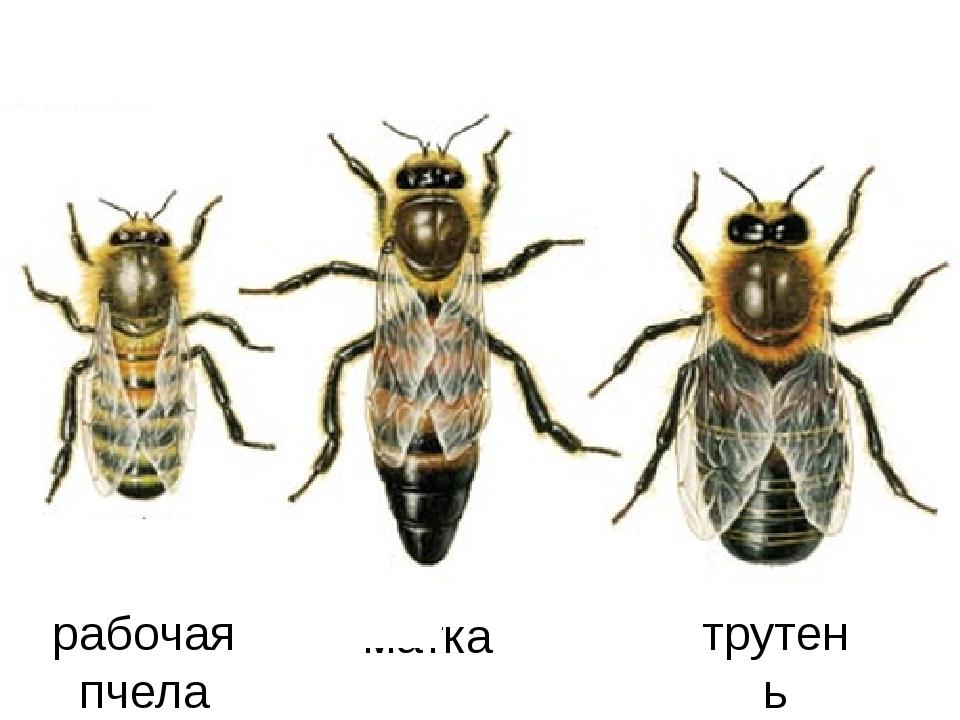 матка трутень рабочая пчела