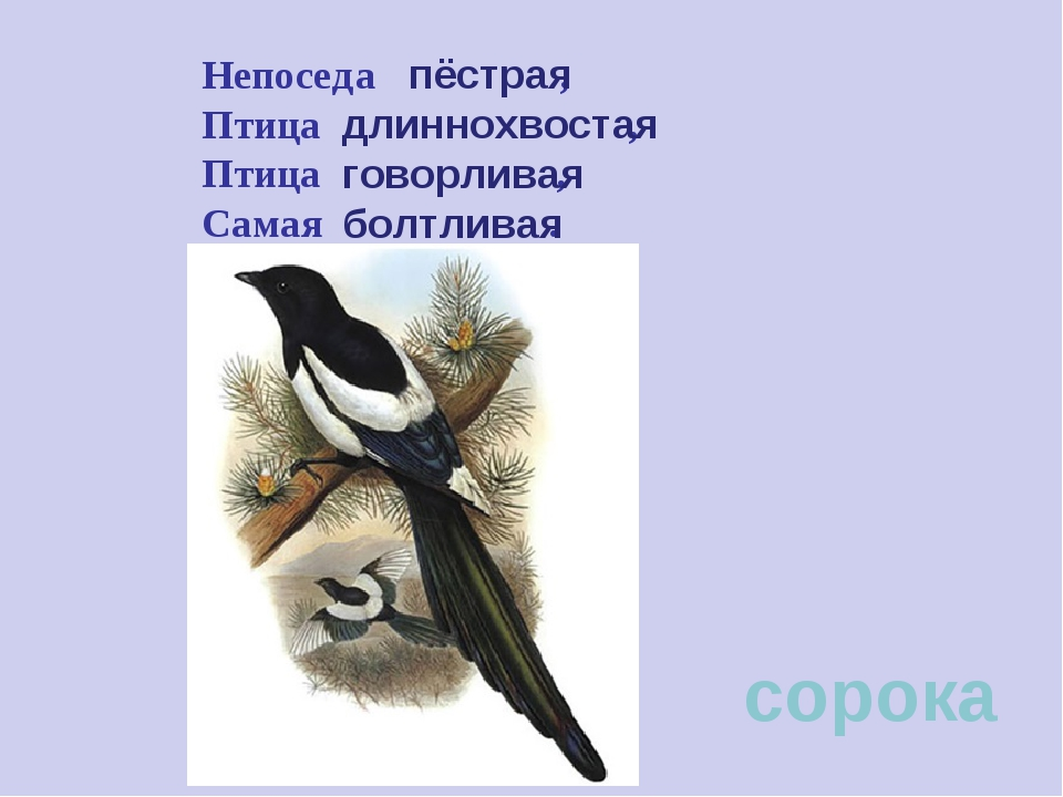 Непоседа , Птица , Птица , Самая . сорока пёстрая длиннохвостая говорливая бо...