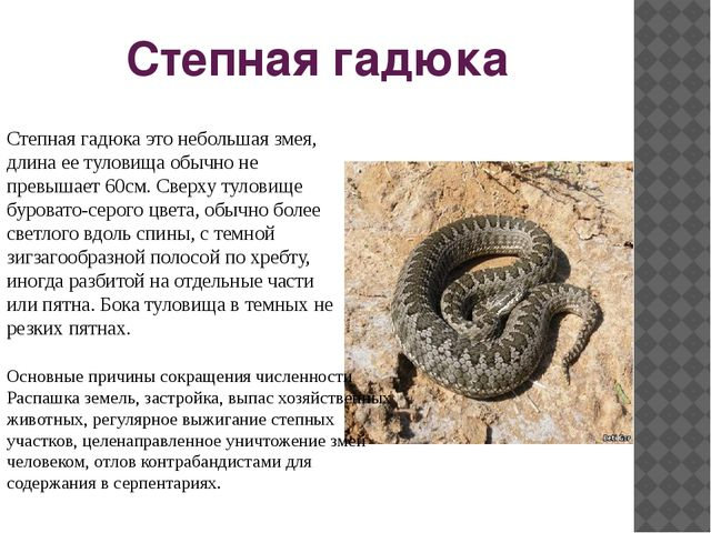 Степная гадюка Степная гадюка это небольшая змея, длина ее туловища обычно не...