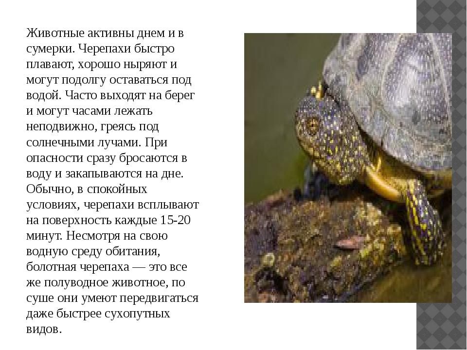 Животные активны днем и в сумерки. Черепахи быстро плавают, хорошо ныряют и...