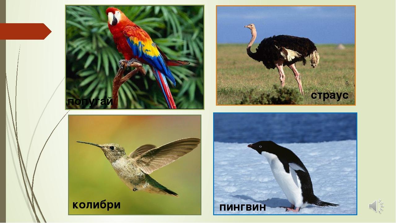 колибри пингвин страус попугай
