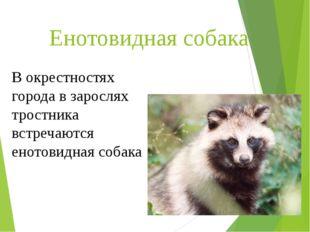 Енотовидная собака В окрестностях города в зарослях тростника встречаются ено