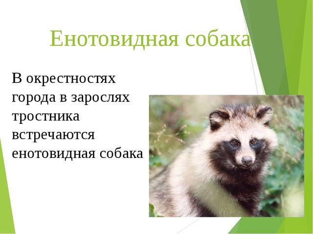 Енотовидная собака В окрестностях города в зарослях тростника встречаются ено...