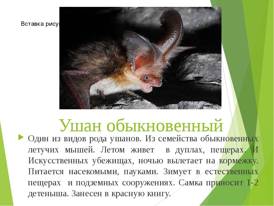 Ушан обыкновенный Один из видов рода ушанов. Из семейства обыкновенных летучи...