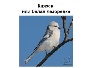 Князек или белая лазоревка