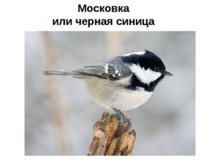 Московка или черная синица