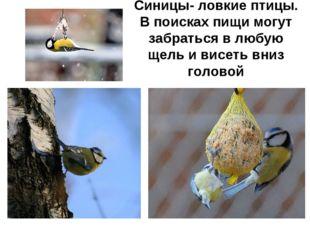 Синицы- ловкие птицы. В поисках пищи могут забраться в любую щель и висеть вн