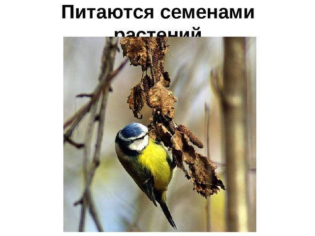 Питаются семенами растений