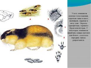 У всех леммингов плотное телосложение, короткие лапы и хвост, маленькие, скр