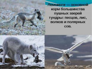 Лемминги — основной корм большинства пушных зверей тундры: песцов, лис, волко