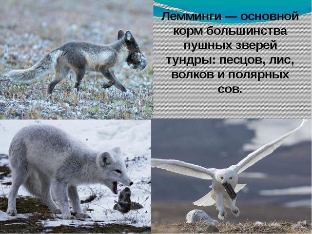 Лемминги — основной корм большинства пушных зверей тундры: песцов, лис, волко...