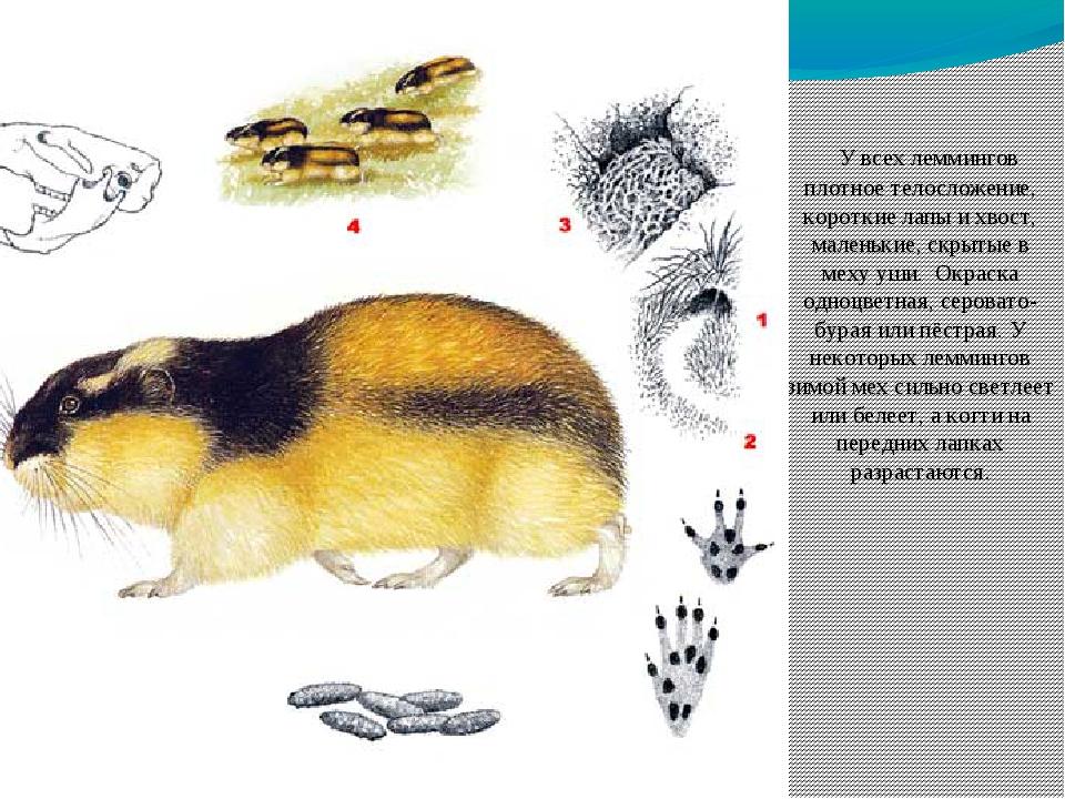 У всех леммингов плотное телосложение, короткие лапы и хвост, маленькие, скр...