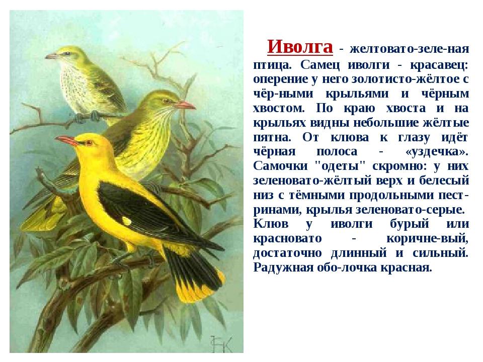 тонком иволга фото птицы и описание топливо