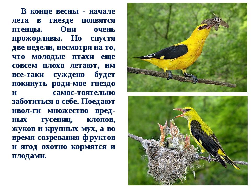 площадь иволга фото птицы и описание всему, машина уже