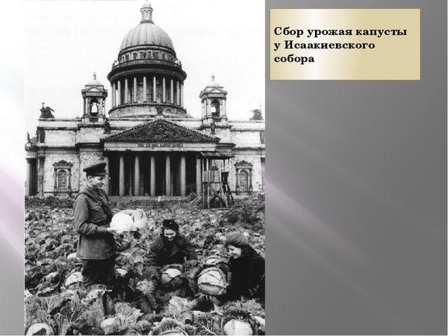 Сбор урожая капусты у Исаакиевского собора