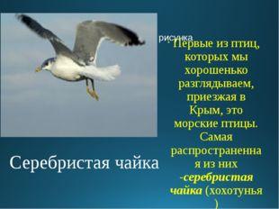 Серебристая чайка Первые из птиц, которых мы хорошенько разглядываем, приезжа
