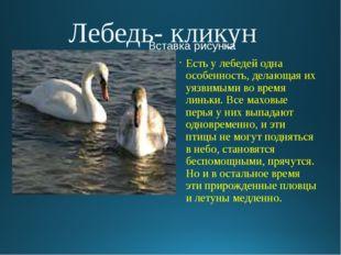 Лебедь- кликун Есть у лебедей одна особенность, делающая их уязвимыми во врем