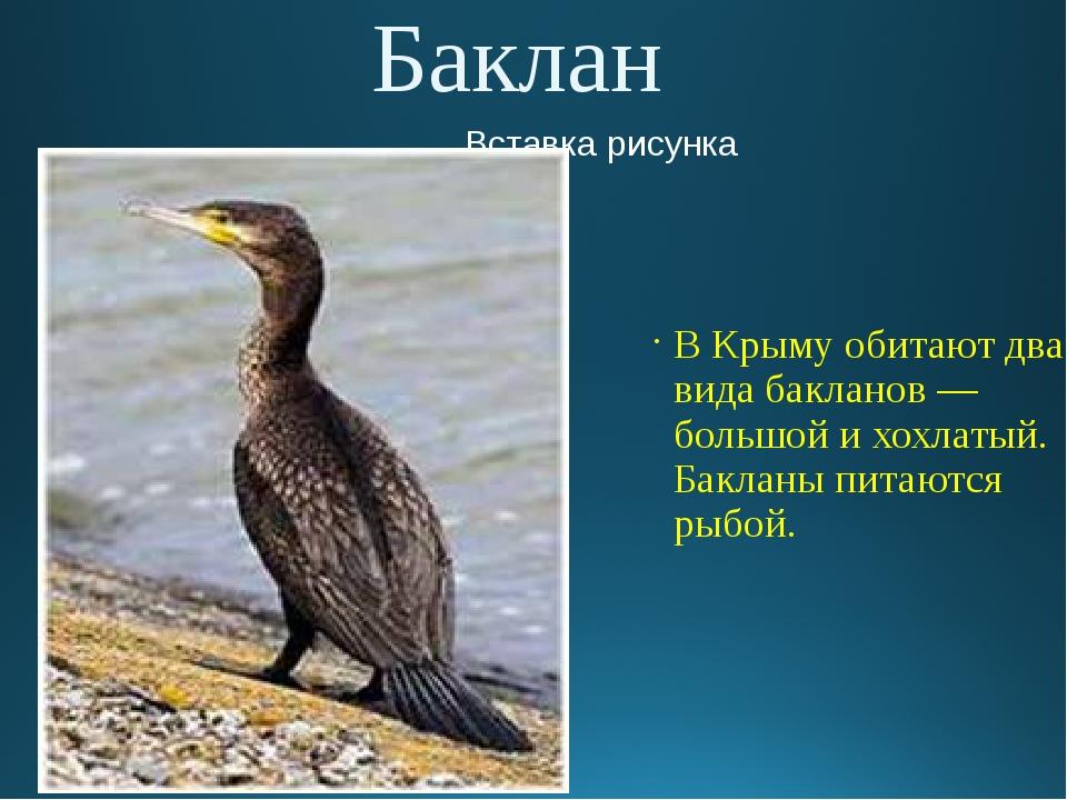 Баклан В Крыму обитают два вида бакланов — большой и хохлатый. Бакланы питают...