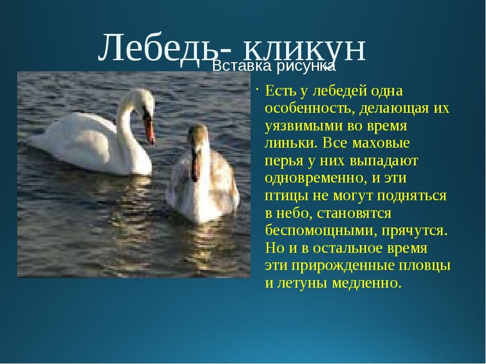 Лебедь- кликун Есть у лебедей одна особенность, делающая их уязвимыми во врем...