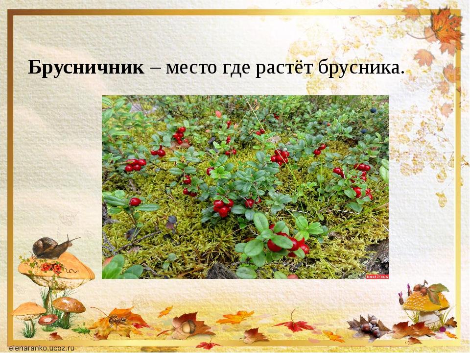 Брусничник – место где растёт брусника.