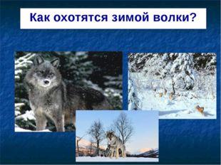 Как охотятся зимой волки?