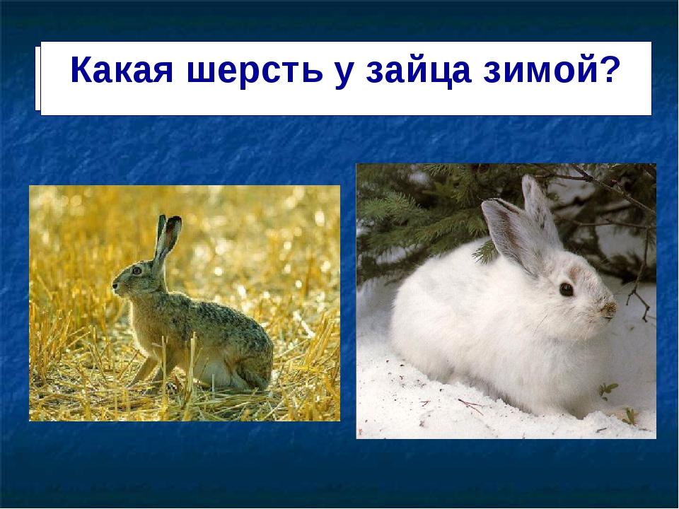 Зимняя шерсть у з Какая шерсть у зайца зимой?