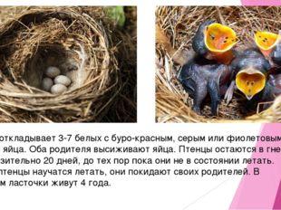 Самка откладывает 3-7 белых с буро-красным, серым или фиолетовым крапом яйца.