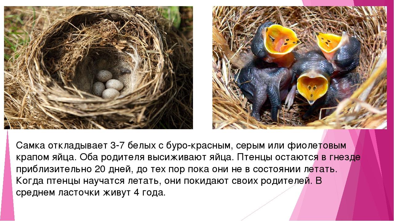 Самка откладывает 3-7 белых с буро-красным, серым или фиолетовым крапом яйца....
