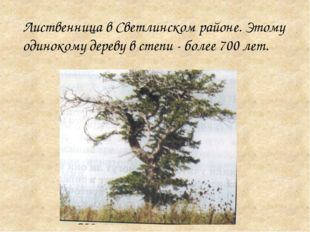 Лиственница в Светлинском районе. Этому одинокому дереву в степи - более 700