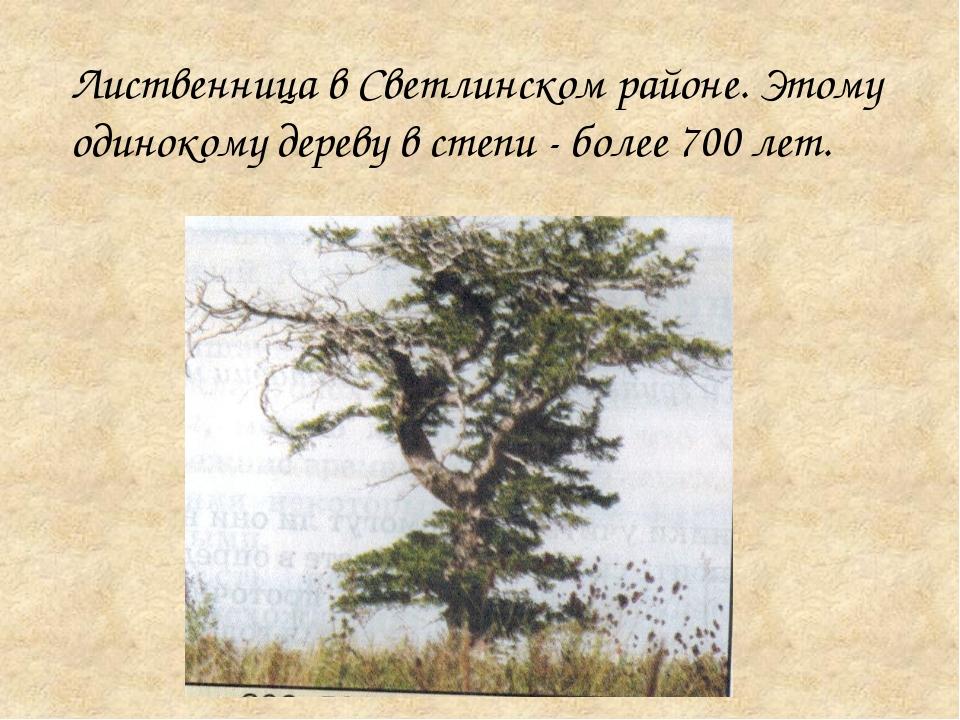 Лиственница в Светлинском районе. Этому одинокому дереву в степи - более 700...