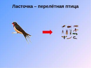 Ласточка – перелётная птица